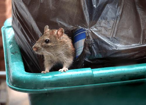 Rats-out-of-bin-clean-inside-bin