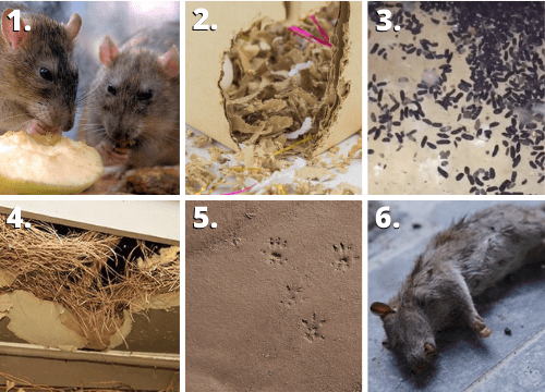 Rats-out-of-bin-nibbled-food-packaging-droppings-nests-markings-smells